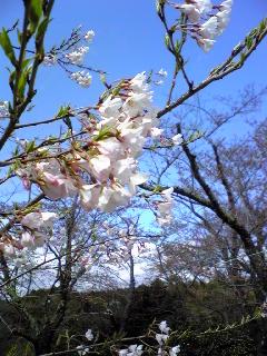 涌谷城山公園の『山高神代桜』