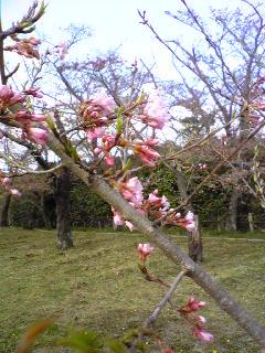 涌谷城山公園の『伊佐沢の久保桜』
