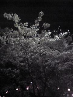 暗くてわかりづらいですが仙台市の榴ヶ岡公園の夜桜の画像です。