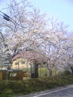 宮城県涌谷高等学校脇の土手の桜の画像です。