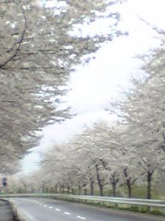 涌谷町城山公園北側の桜並木の画像です。