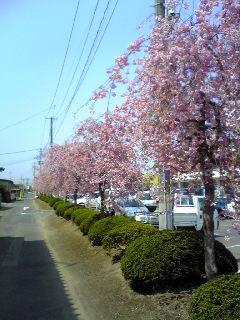 宮城県涌谷町役場前の枝垂れ桜の画像です。