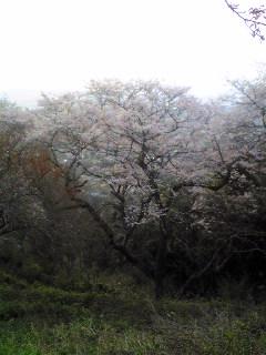 宮城県涌谷町箟岳山山頂の山櫻の画像です。