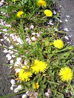 宮城県涌谷町石仏広場の駐車場に咲くタンポポの画像です。