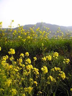 宮城県涌谷町箟岳山のふもと太田地区の菜の花の画像です。