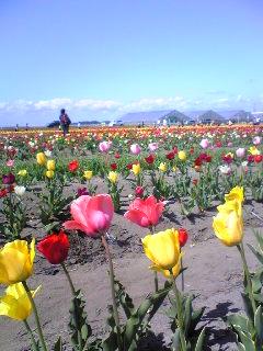 宮城県登米市米山町の「チューリップまつり」会場の画像です。