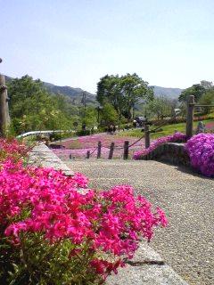 『ようこそシバ桜の世界へ』(ムーミンママさんからの投稿画像です。)