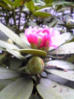 宮城県涌谷町箟岳山山頂にある我が家の庭の牡丹の様子です。