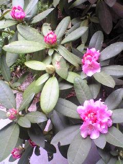 宮城県涌谷町箟岳山山頂の我が家の庭の牡丹の様子です。