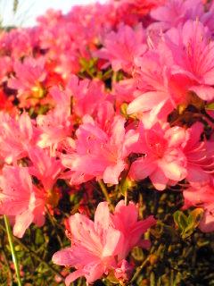 宮城県涌谷町のわくや天平の湯前のつつじの花です。