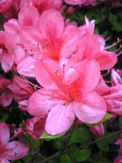 昨日の宮城県気仙沼市徳仙丈山のつつじの花の様子です。