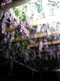 昨夜の宮城県大崎市古川のフジの花の様子です。
