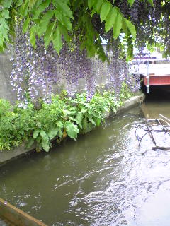 昨日の宮城県大崎市古川緒絶川のフジの花の様子です。