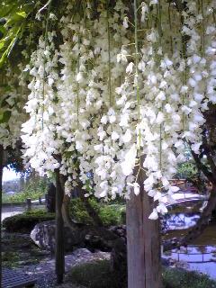 宮城県涌谷町涌谷城山公園の白いフジの花の様子です。