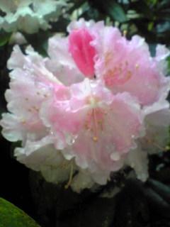 今朝のわが家の庭に咲いている牡丹の花の様子です。