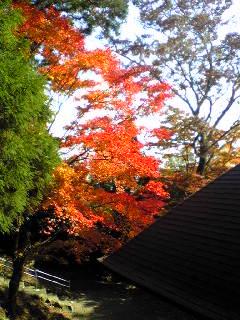 箟峯寺境内のもみじも紅くなりました。