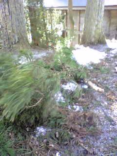 今日の暴風で杉の木の枝が折れていました。
