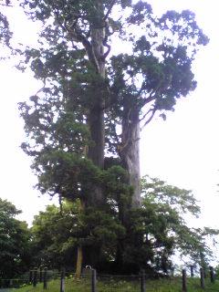 箟峯寺境内に900年根付いている『夫婦杉(めおとすぎ)』です。