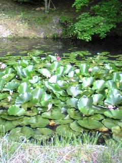 箟峯寺西側の池には水蓮の華が咲いています。