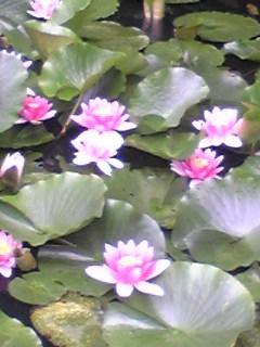 今日の箟峯寺境内のすい蓮です。
